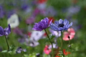 anemone-4