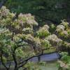 アセビの育て方と花言葉【半日陰に植える常緑低木のガーデニング】