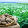 じゃがいもの栄養効果と旬や選び方【芽の処理や面倒な皮むき紹介】