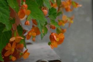 begonia-sazarnde