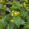 ラミウム ガリオブドロンの育て方【庭のグランドカバー草花】