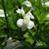 サギゴケの育て方【庭のグランドカバー草花】