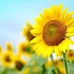 ヒマワリ(向日葵)の育て方と花言葉【夏に咲くガーデニング草花】