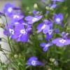 ロベリアの育て方と花言葉【初夏~秋に咲くガーデニング草花】