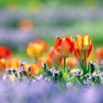 チューリップ の育て方と花言葉【春に咲く秋植え球根ガーデニング草花】