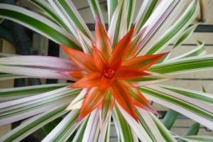 guzumania-roiyarusirubar