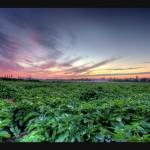 過リン酸石灰の特徴と使い方【肥料の上手な施し方】