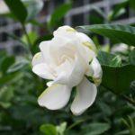 クチナシの育て方と花言葉【半日陰に植える常緑低木のガーデニング】