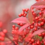 ナンテンの育て方と花言葉【半日陰に植える常緑低木のガーデニング】