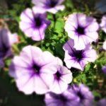 ペチュニアの育て方と花言葉【夏に咲くガーデニング草花】