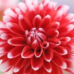 ダリアの育て方と花形の種類/品種【夏のガーデニング草花】