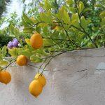 レモンの栄養が美容と運動に効果的に働く理由!
