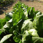 ホウレンソウ栽培の肥料について(野菜づくりの施肥量と元肥・追肥の与え方)