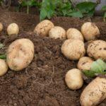 ジャガイモ栽培の肥料について(野菜づくりの施肥量と元肥・追肥の与え方)