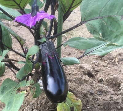 ナスビ栽培の肥料について(野菜づくりの施肥量と元肥・追肥の与え方)