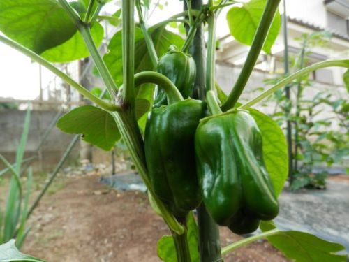 ピーマン栽培の肥料について(野菜づくりの施肥量と元肥・追肥の与え方)