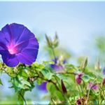 7月1日~7月31日|誕生花と花言葉一覧