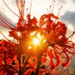 9月1日~9月30日|誕生花と花言葉一覧