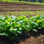 栄養価の高い小松菜を火星で栽培⁉【小松菜の特徴と美味しく食べる方法】