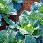 キャベツ栽培の肥料について(野菜づくりの施肥量と元肥・追肥の与え方)