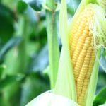 トウモロコシ栽培の肥料について(野菜づくりの施肥量と元肥・追肥の与え方)