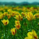 ガーデニングが楽しくなる球根の花14選|コンテナや鉢植えにおすすめ!