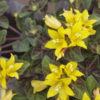リシマキア ミッドナイトサンの育て方【庭のグランドカバー草花】